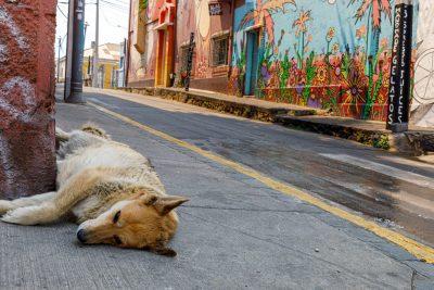 Un chien allongé Cerro Alegre
